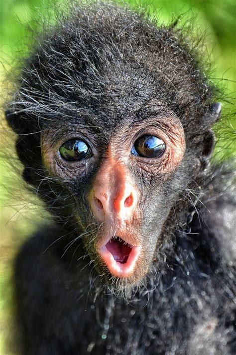 Cutest Spider Monkey With Cute Expression   LuvBat