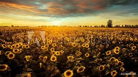 Field With Blooming Sunflowers On A Background Of Sunset