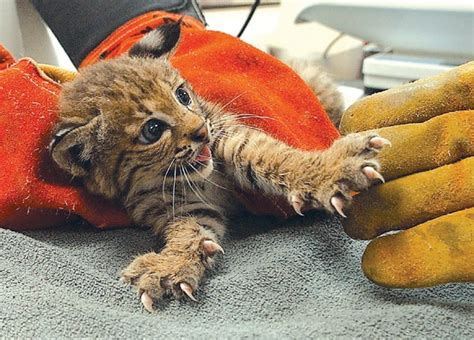 Baby Bobcats: Super Common And Super Cute!   Baby Animal Zoo