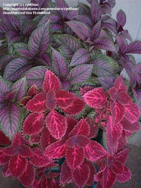 Choosing a Container – Bigger is better for Persian Shield