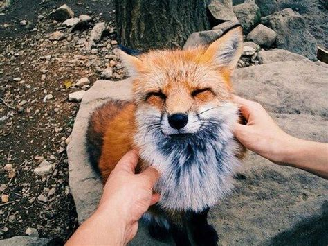 Happy Fox Pictures, Photos, and Images for Facebook