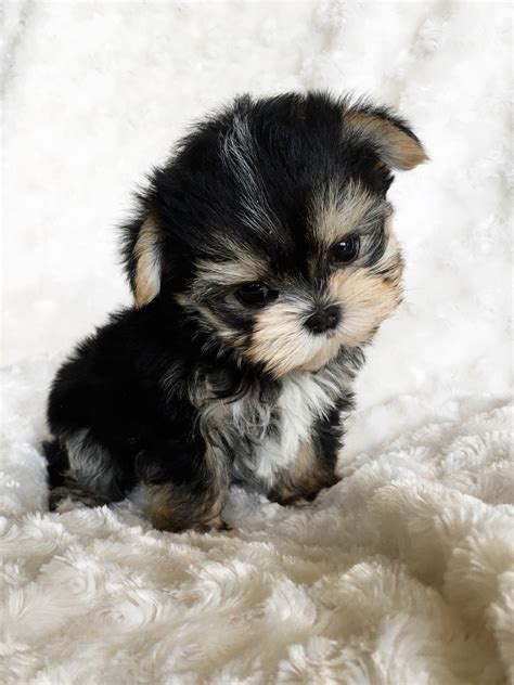 Teacup Morkie Puppy For Sale!!   iHeartTeacups