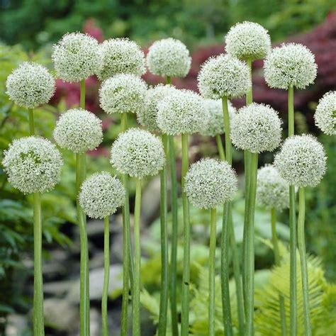 Allium White Giant 5 Bulbs on Sale   Fast Delivery