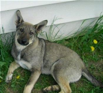 Coydog Information and Pictures
